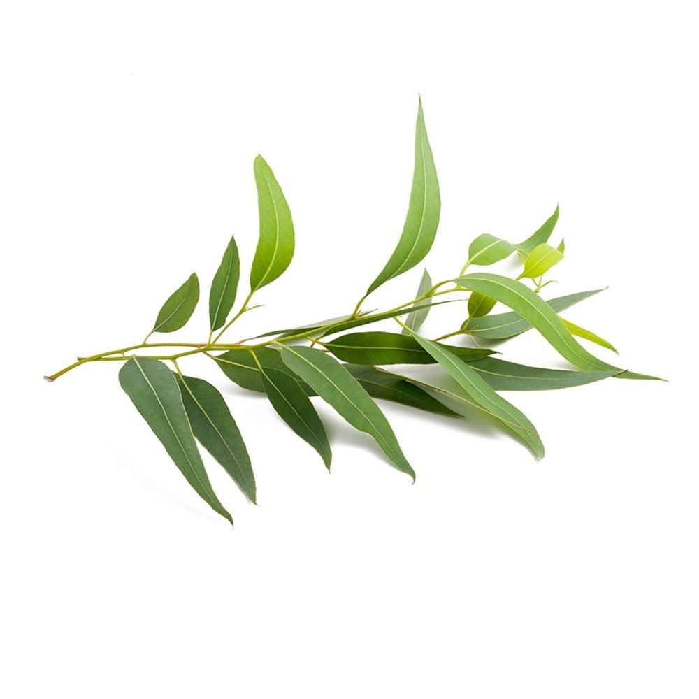 TEA TREE    Wellbeing : cleansing & rejuvenating effect on the skin. promotes healthy immune function. protects against environmental and seasonal treats   Skin : tea tree oil may help relieve many types of skin inflammation, fungal infections including being used as a natural eczema & acne treatment and for reducing psoriasis. dry cuticle, toenail fungus, smelly foot.    Massage : coconut oil mix with tea tree for a cleansing & rejuvenating massage.. immune system boost.