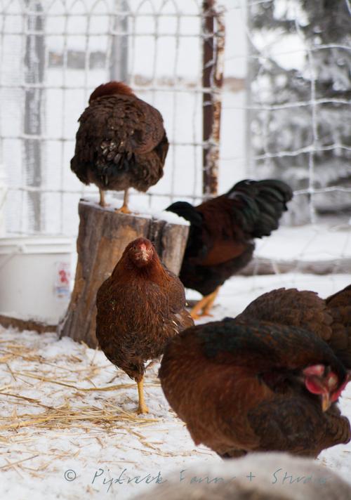 2+chickens+blog-3354.jpg