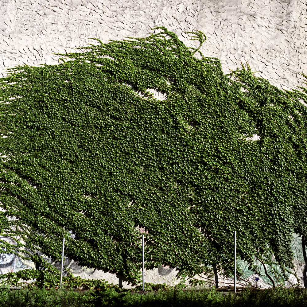Vines on Wall.jpg