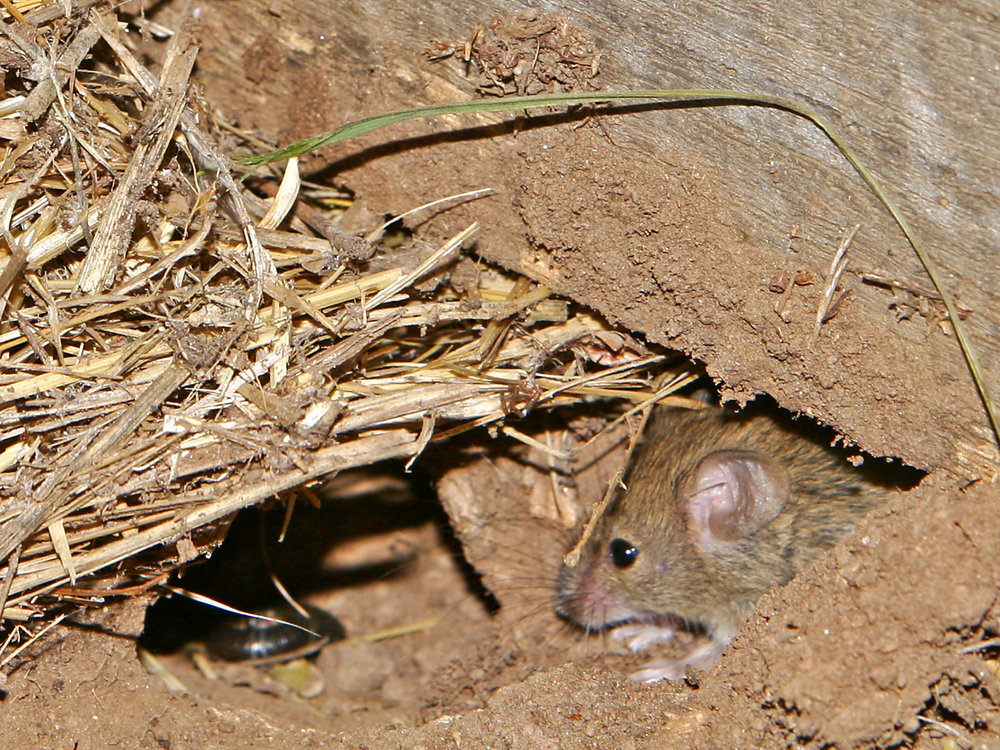 Mouse_vermin02.jpg