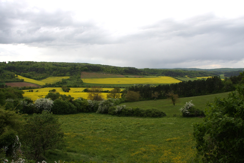 Fields of blooming mustard in the Burgundy countryside