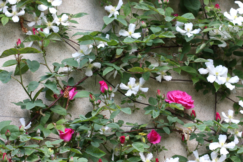 Roses and Clematis covering the side of a home in Apremont, France