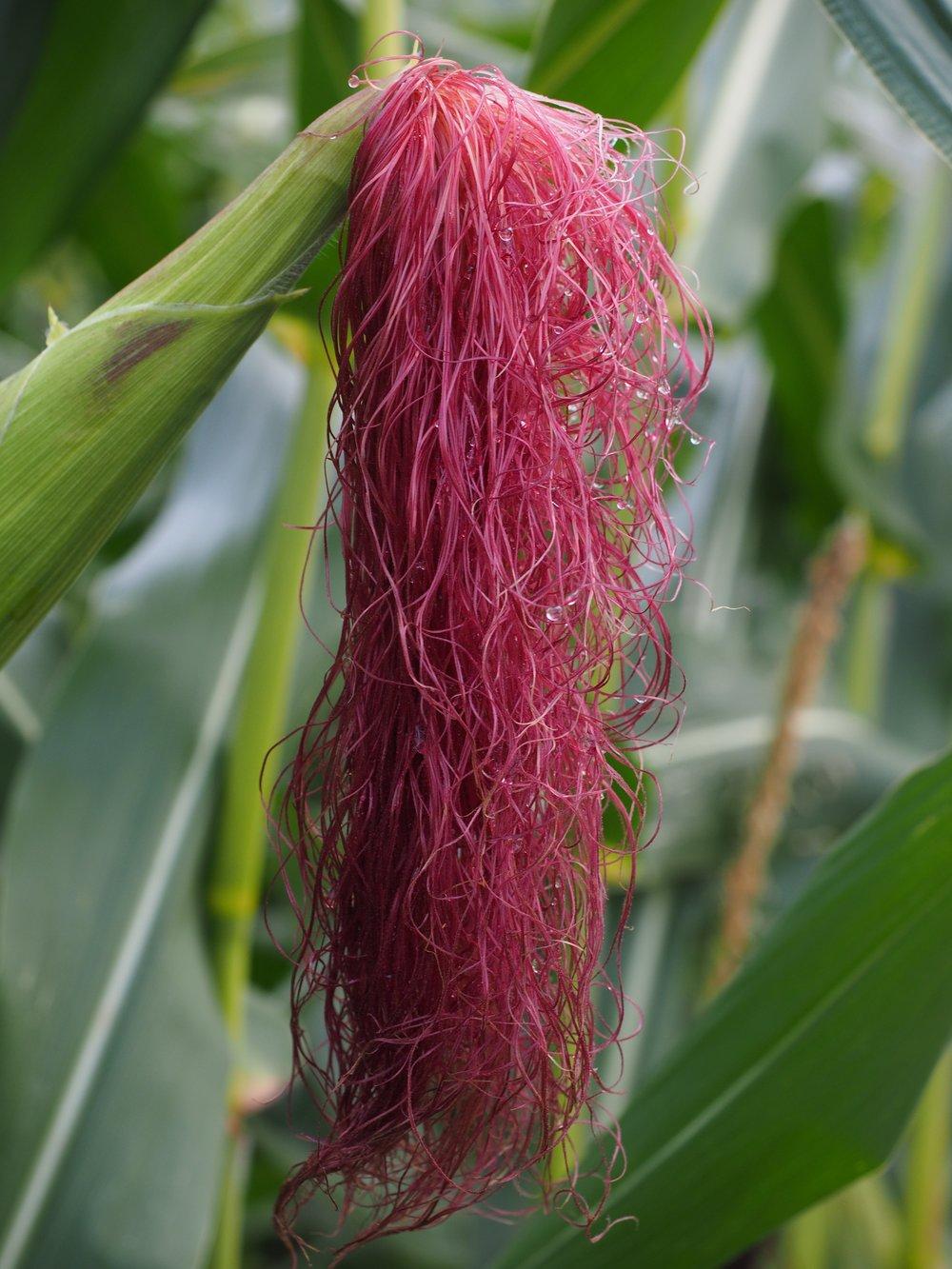 corn-hair-694217.jpg
