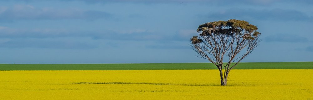 a-lone-tree-with-the-canola-in-full-bloom-somewhere-out-in-the-wheatbelt-of-western-australia_t20_7JBJp4.jpg