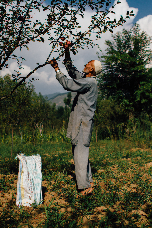 Apple Picking, Kashmir