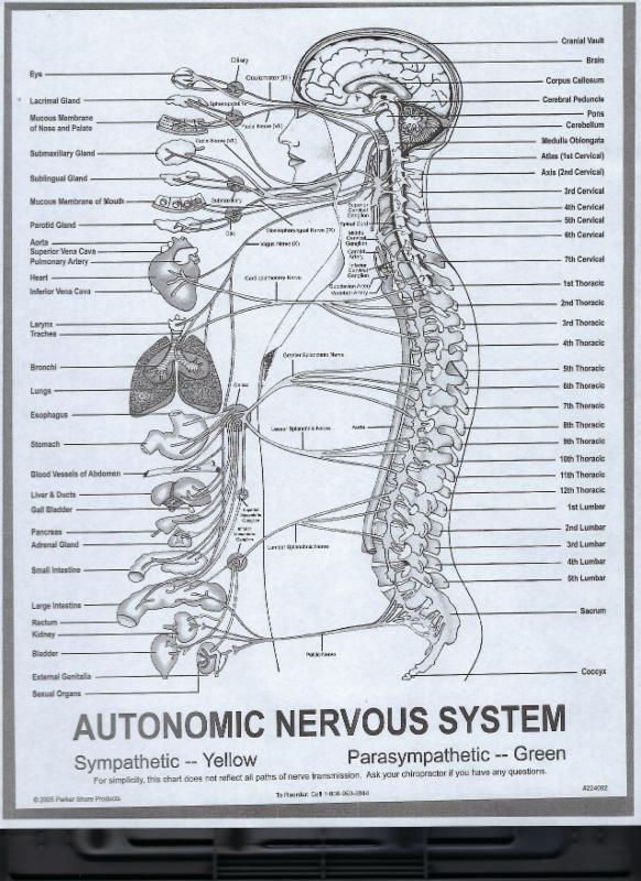 Autonomic Nervous System.jpg
