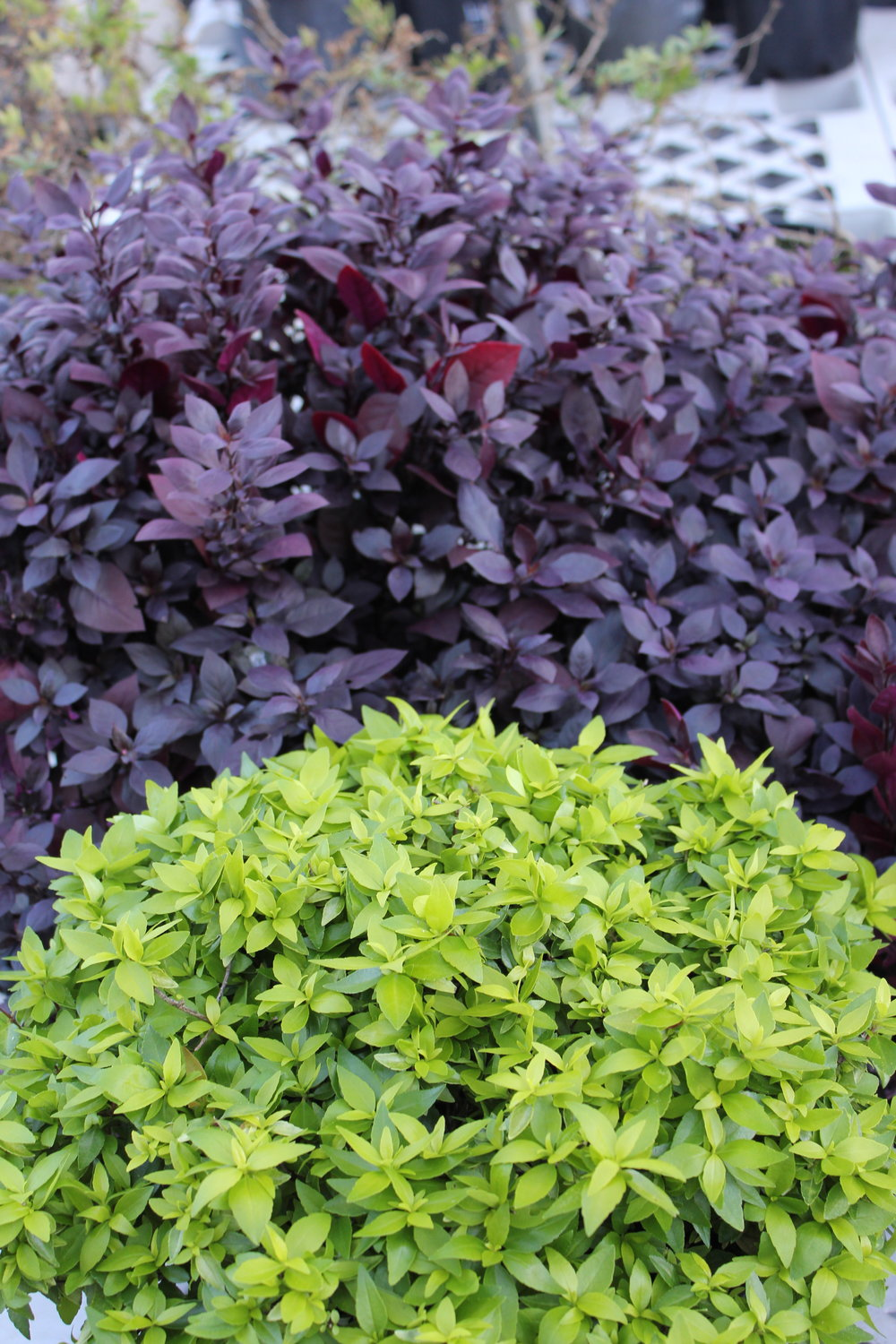 Little Gold™ Abelia 'LG01' PBR