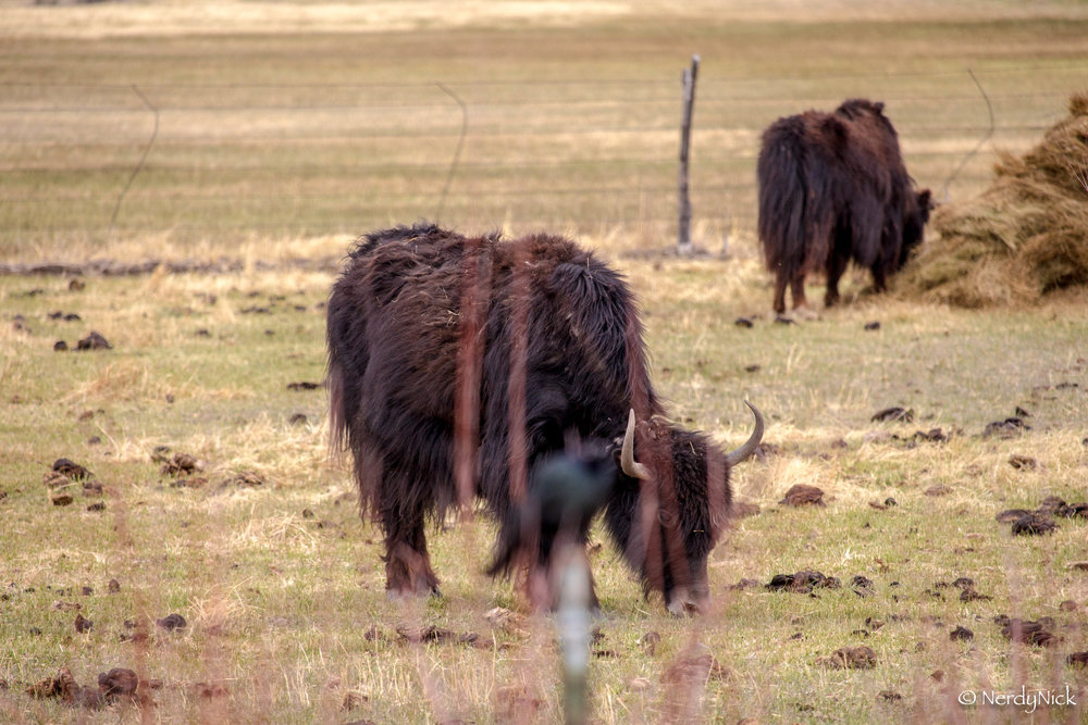 The Yaks of San Luis Valley