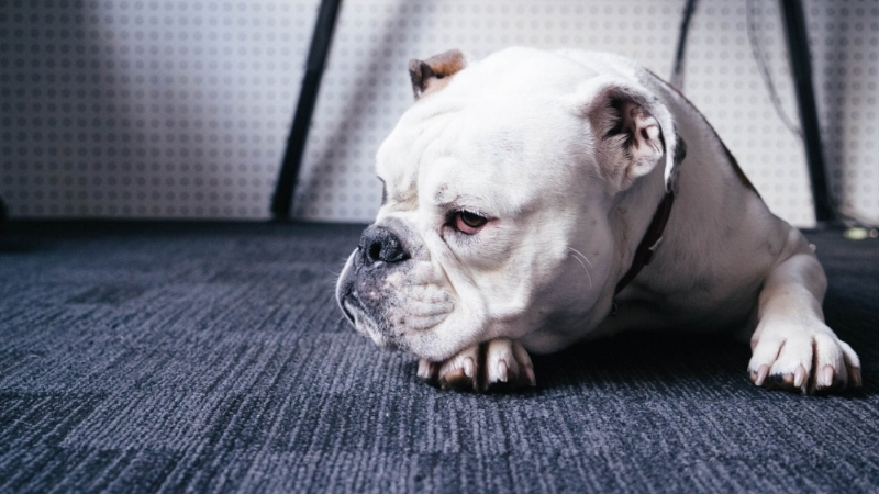 Need a pet-friendly carpet?