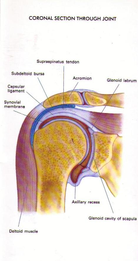 Shoulder — Renwick Sports Physiotherapy & Orthopaedic Centre