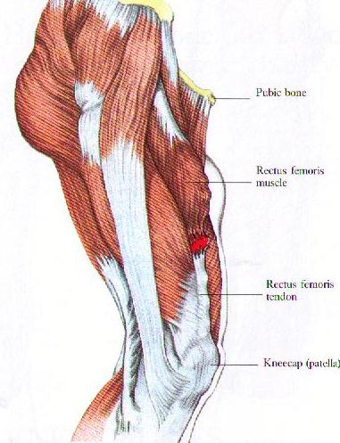 Quadricep-muscle-diagram.jpg