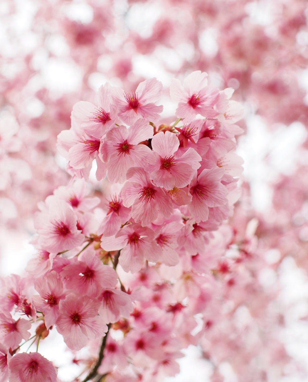 Cherry blossoms at the Kyoto Botanical Gardens. Photo credit to  Flickr .