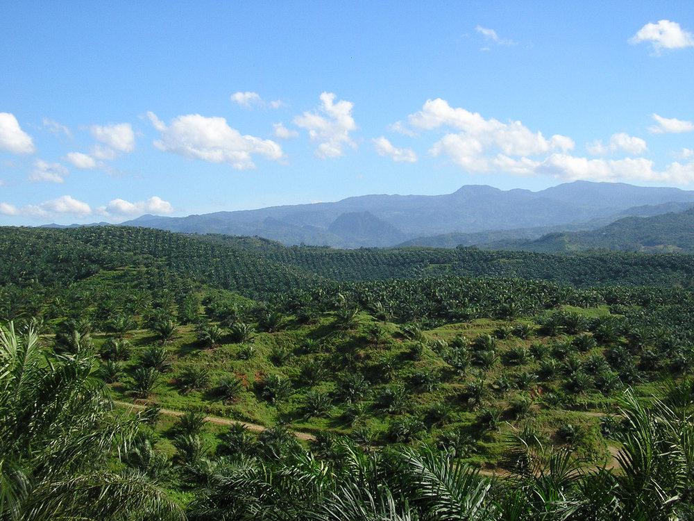 Oil Palm Farm