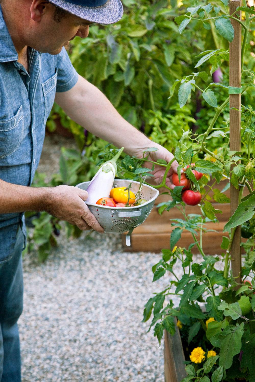 tomato location