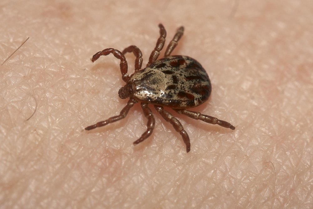 winter tick