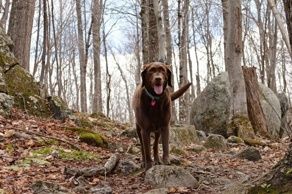 Fun fact: BeBop Labs was named after Dr. Kaitlyn Morse's chocolate lab named BeBop! BeBop actively participates as a tick collector, assistant in educational workshops, and as our branding officer to help make science more approachable and fun. She is pictured here.