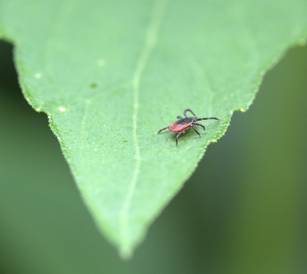 Blacklegged/Deer tick nymphs are typically the size of a poppy seed in diameter, while adults are roughly the size of a sesame seed.