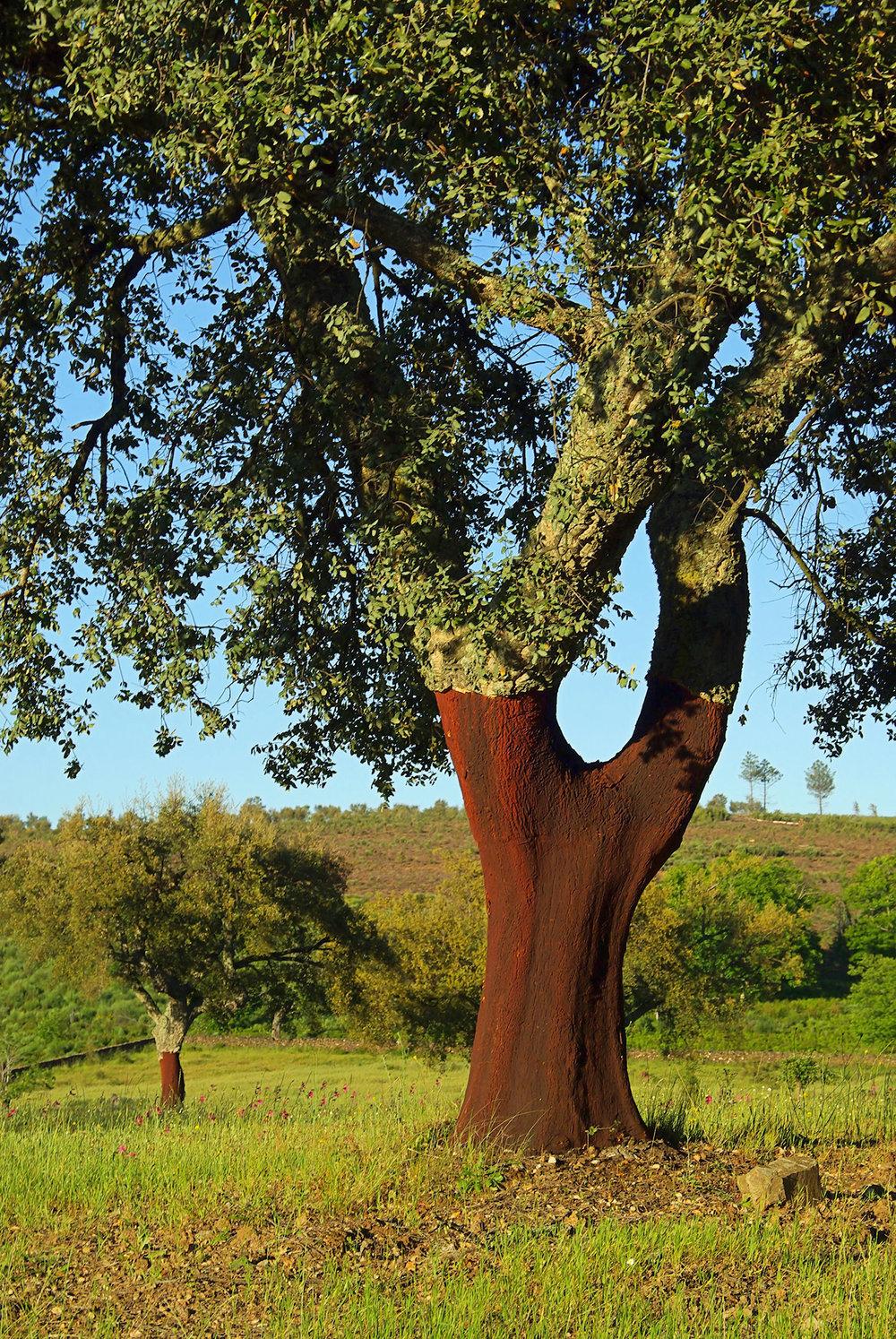 suro_arbre_b.jpg