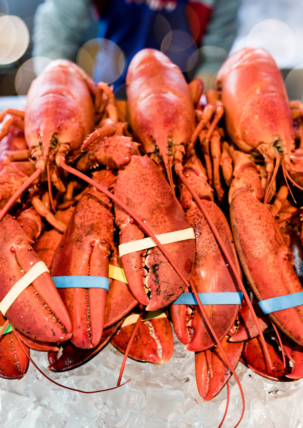 red lobsters with claw bands