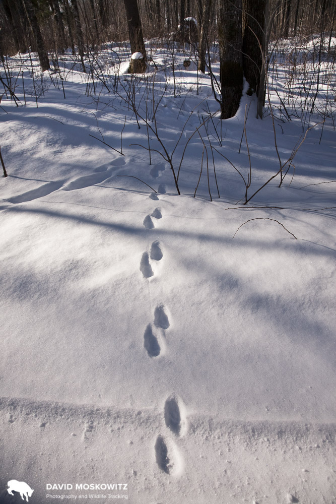 Trail of a fisher in the North Woods of Wisconsin. Many studies which rely on wildlife tracking depend on snow cover for creating consistent detection probabilities.