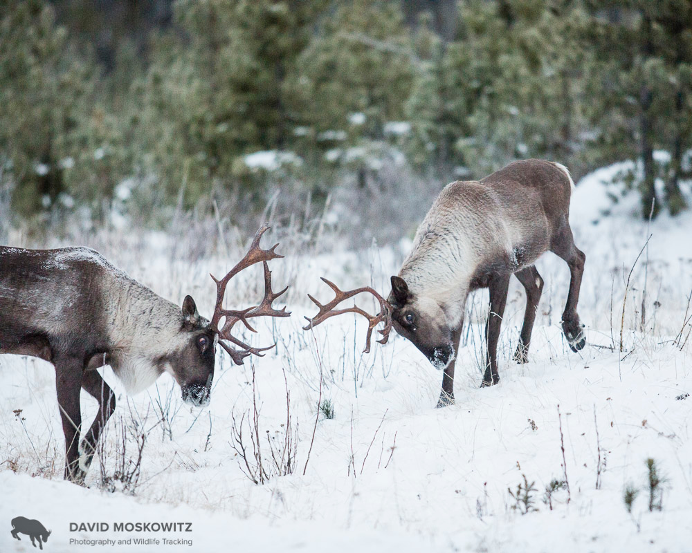 Two bull caribou squre up to spare. Hart Range, British Columbia