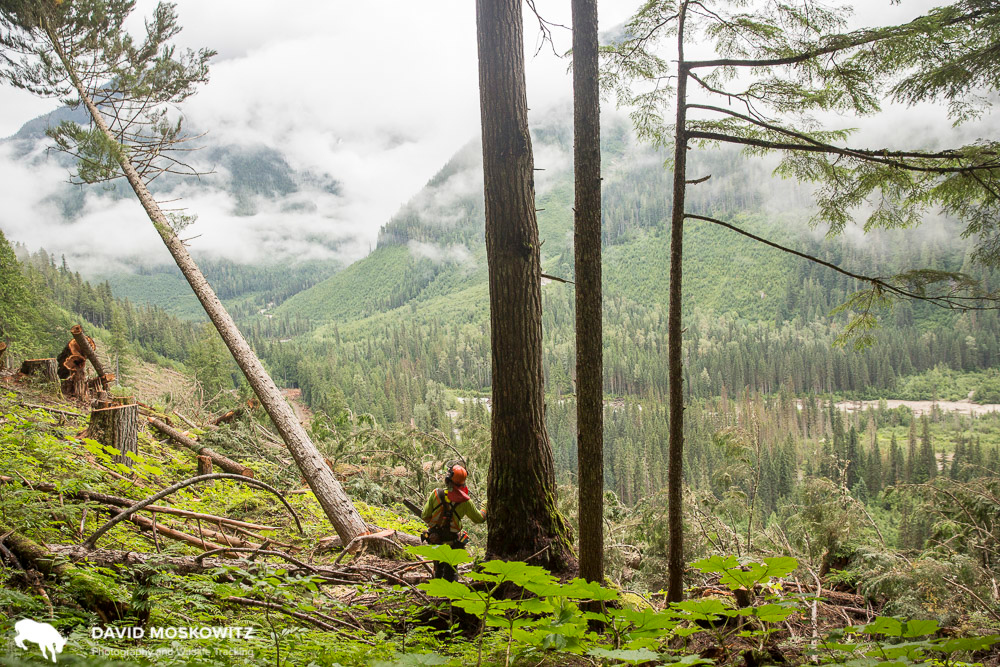 Logging of old growth rainforest continues throughout the Canadian portion of the Caribou Rainforest. Northern Selkirk Mountains, British Columbia.