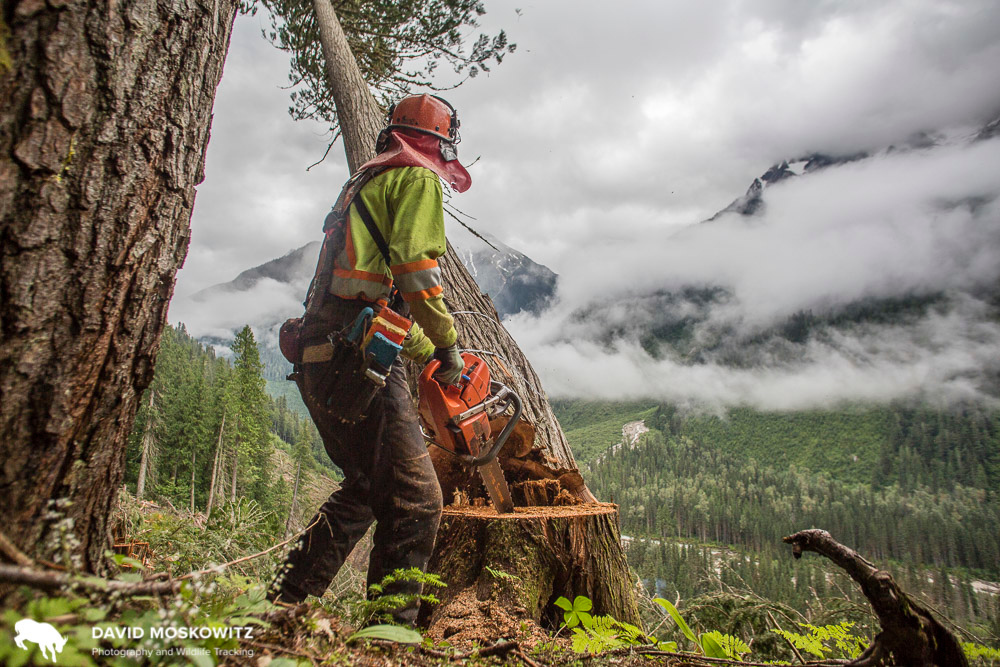 Feller David Walker dropping a rotten hemlock tree in old growth forest in the Northern Selkirk Mountains, British Columbia. Hemlock trees from this logging operation were destined for a pulp mill in Castlegar British Columbia.