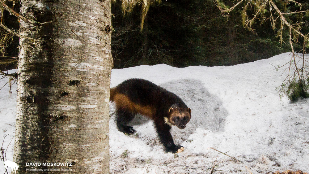 Wolverine in historic mountain caribou habitat in northwestern Montana.