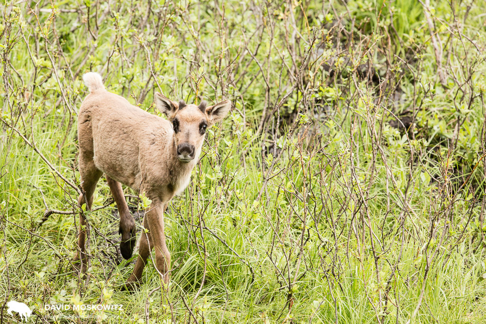 A caribou calf in the Klinse-za maternity pen, one of two attempts in BC to protect pregnant females and young calves from predators during their must vulnerable time of the year.