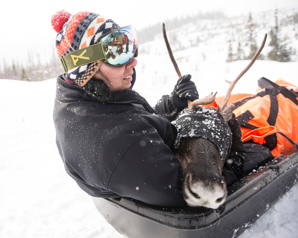 Saulteau First Nations biologist Naomi Owens helps transport a pregnant mountain caribou to the Klinse-za maternity pen being opportated jointly by two First Nations and the province of British Columbia in the Hart Range.