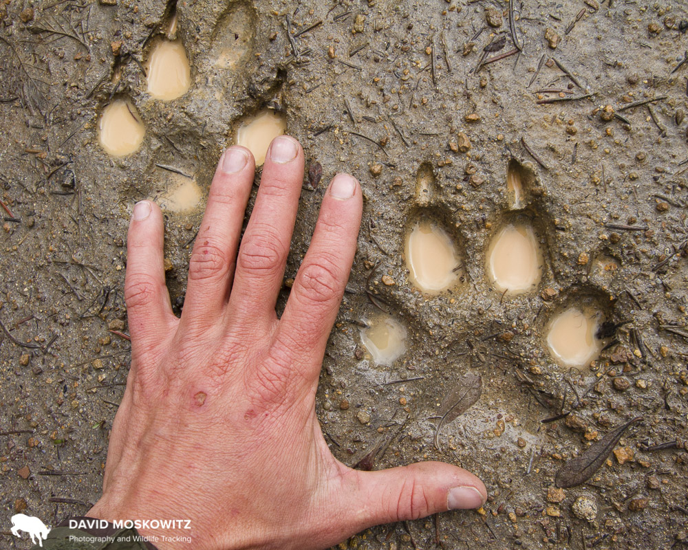 Wolf tracks from the North Cascades, Washington State.