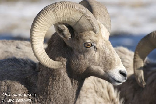 Bighorn Sheep Ram. Clemens Mountain, East slope Washington Cascades.