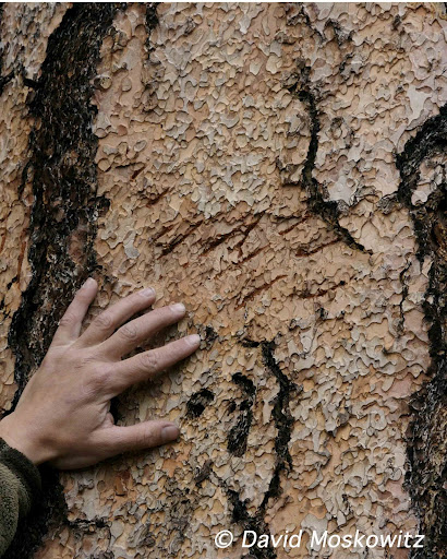 Black bear claw marks on a Ponderosa pine tree. Northwestern Montana.