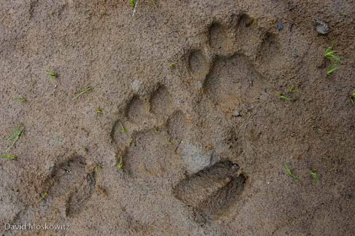 Mountain Lion and Black-tailed Deer tracks in mud. Skagit River, Washington.
