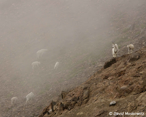 Mountain goats in mist. Goat Rocks Wilderness, Washington Cascades.