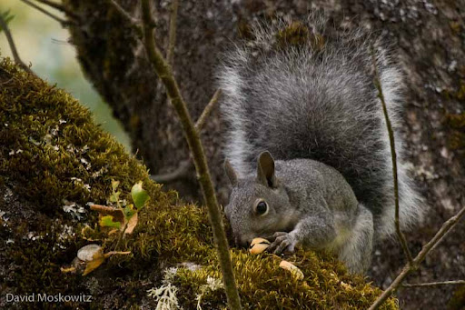 Western Grey Squirrel feeding on acorns in an oak tree. Klamath Mountains. Southwestern Oregon