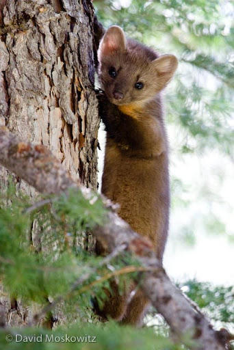 A pine marten (Martes americana) peers down from a safe perch.
