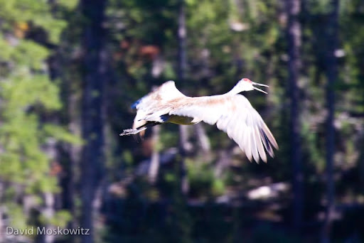 Sandhill crane (Grus canadensis) in flight. Cranes breed and rear young in the vast wet meadow systems of central Idaho.