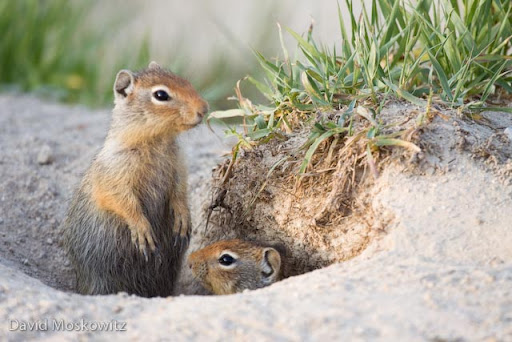 Columbian ground squirrels (Spermophilus columbianus) at a burrow.