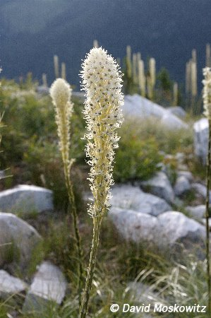Beargrass, Cornice peak. Selkirk mountains, southeastern British Columbia.