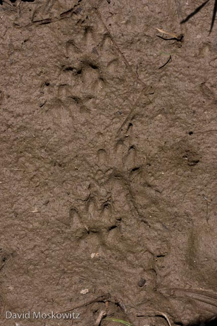 Tracks a small (likely female) mink from along the Yakima River in Kittatas County, Washington, also in a typical loping pattern. In this firmer substrate the mesial webbing has not registered.