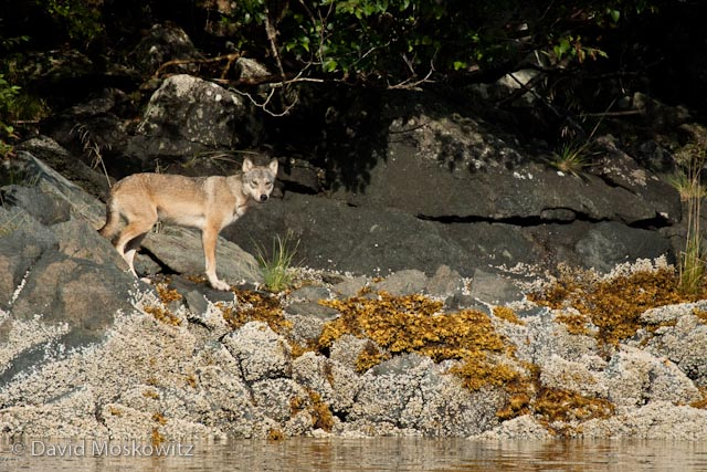 Doug Brown, the field station manager for Raincoast Conservation Foundation,and my guide, spotted this wolf along the shore of a small island northeast of Bella Bella.