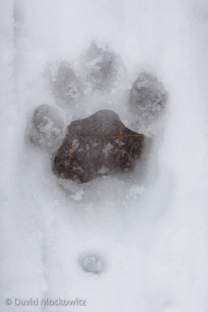 Mountain lion (Puma concolor)left front track. Northern Rockies, Montana.
