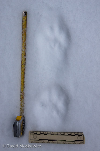 Canada lynx (Lynx canadensis)left front below left hind tracks. Northern Rockies, Montana.