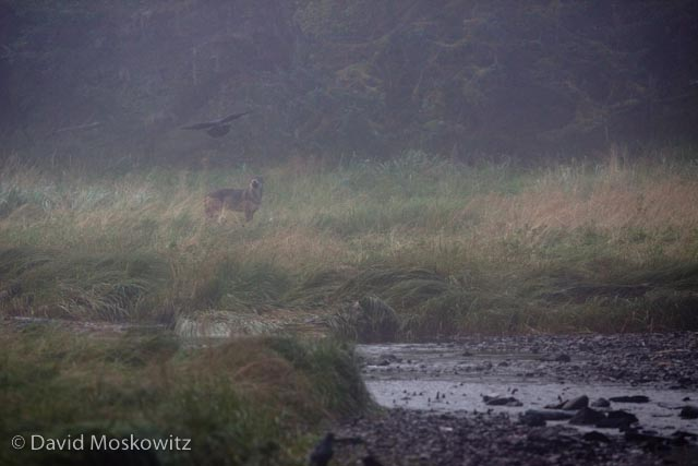 A raven taunts a wolf in morning fog.