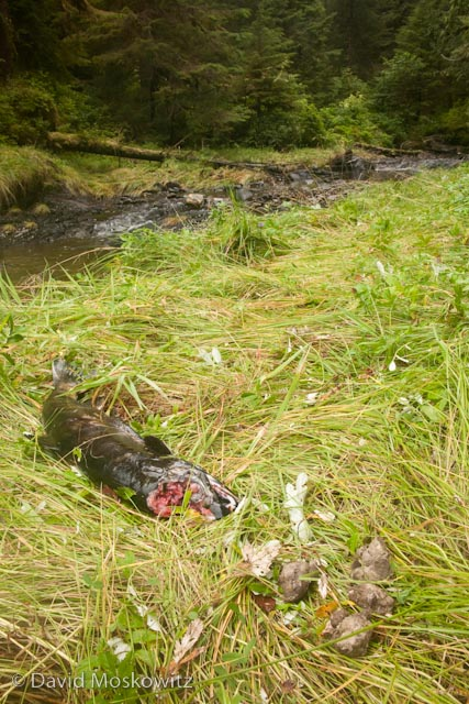 Chum salmon carcass with the top of the head removed by a wolf and a fresh wolf scat besides it.