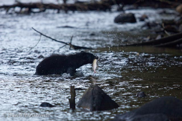 A black bear carries its prize back to shore for a late afternoon meal.