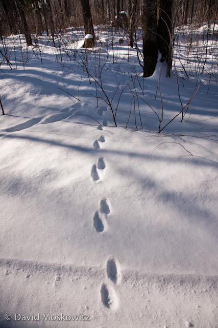 Tracks of a fisher bounding into the forest. Fisher sign was relatively common in many of the locations I visited while in the area.