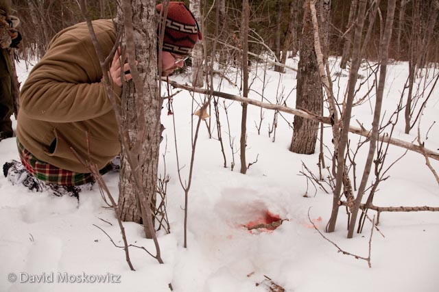 Tracker Randell Westfall inspects the cavity created by an excavated cache of deer meat made by a wolf.