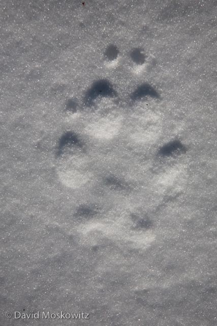 Front track of a wolf found on the program.